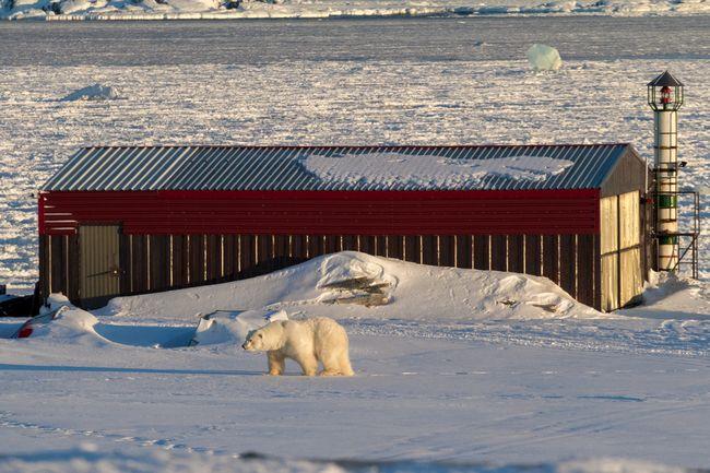 Niedźwiedź na Spitsbergenie