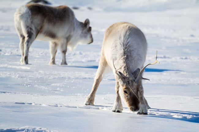 Renifery w Arktyce