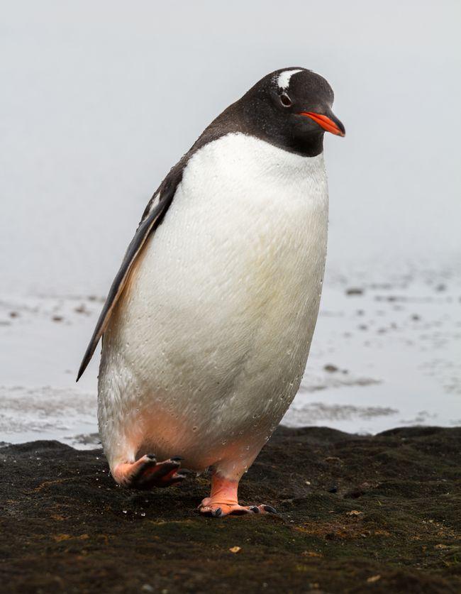 Pingwin białooki