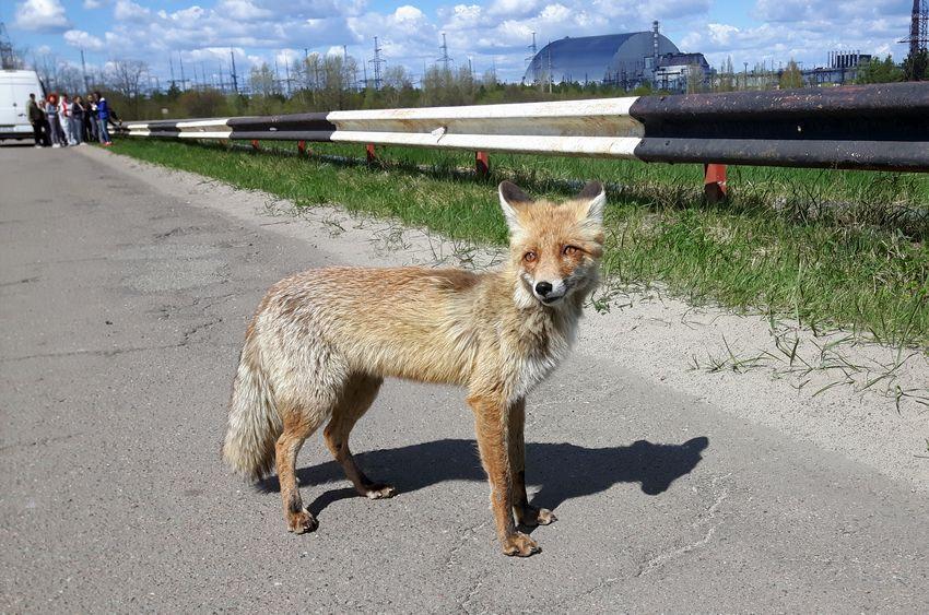 Lis niedaleko elektrowni w Czarnobylu