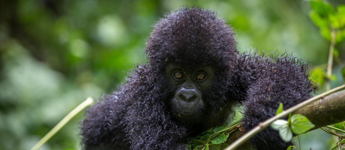 goryl w Ugandzie