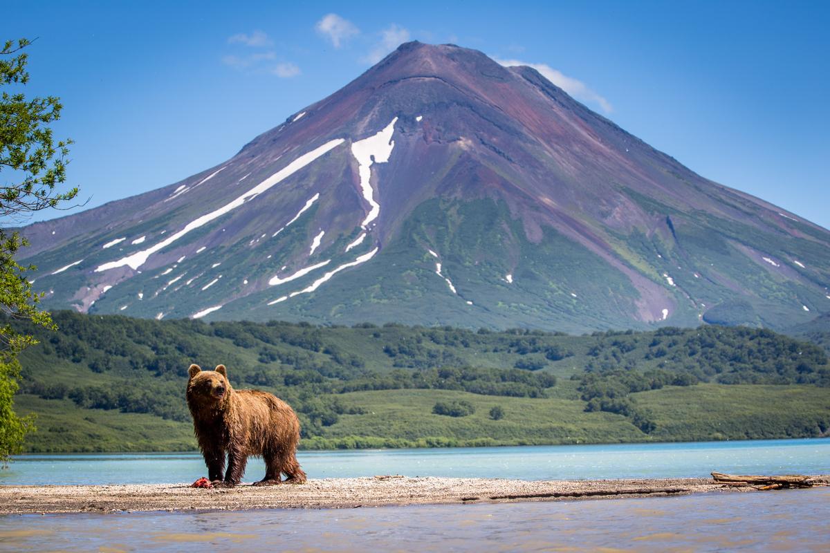 niedźwiedź na Kamczatce