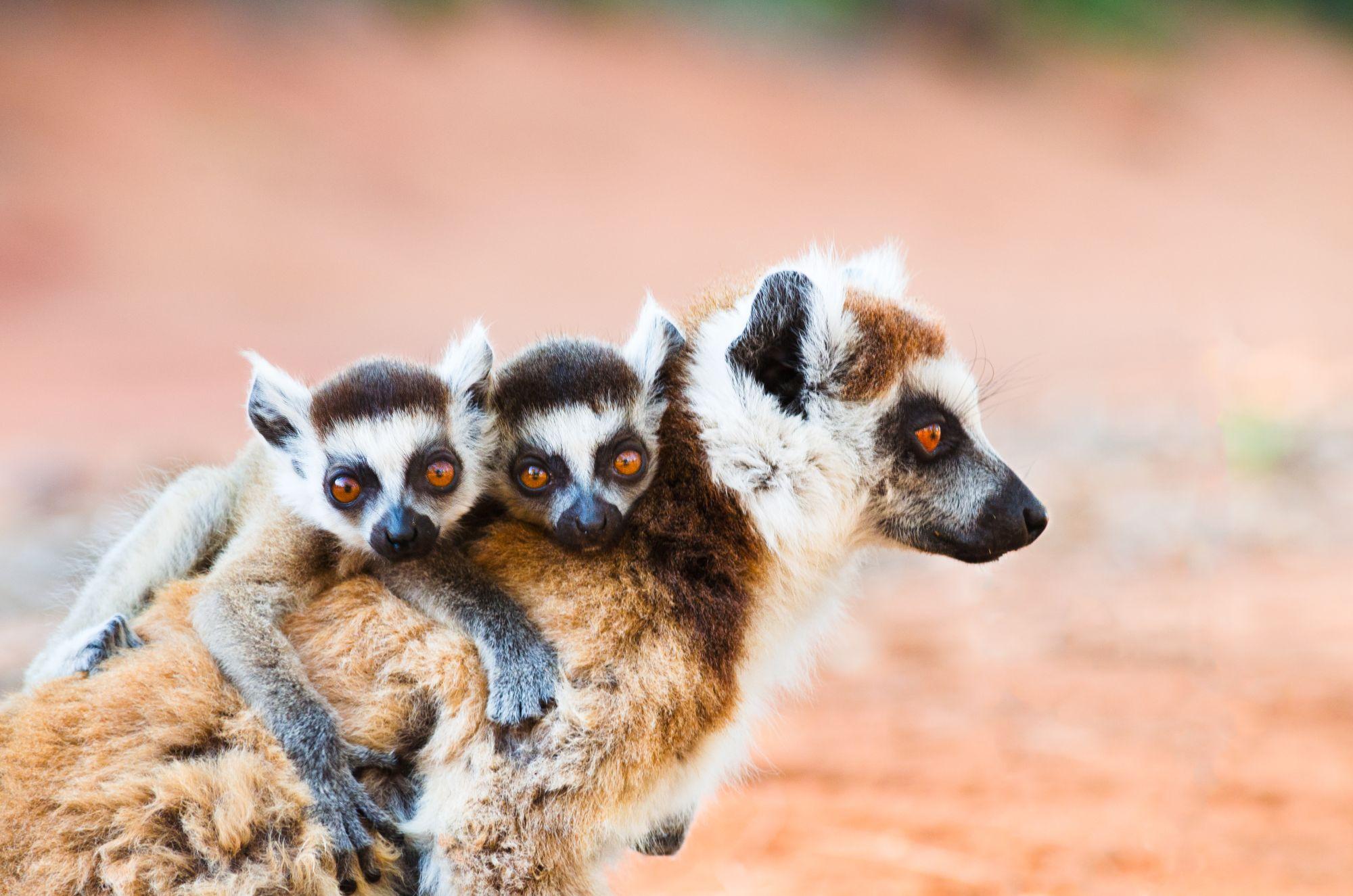 Madagaskar lemury