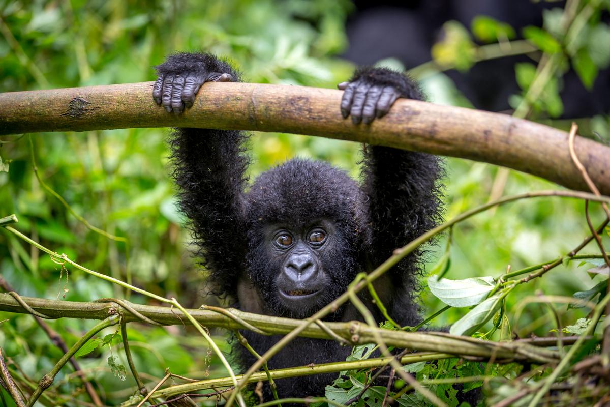 goryl w dżungli