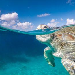 Curacao pływający żółw