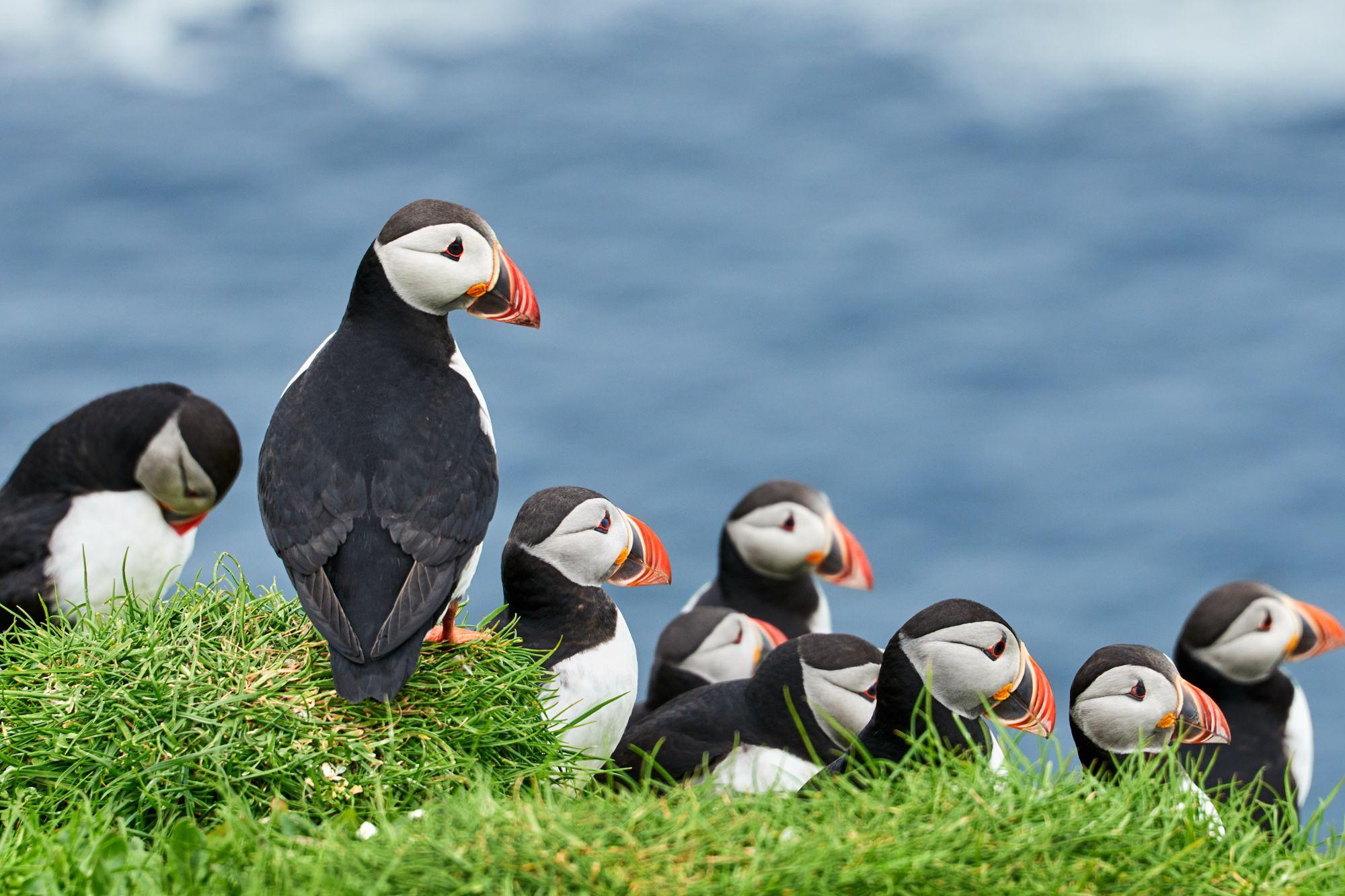 Ptaki na Wyspach Owczych