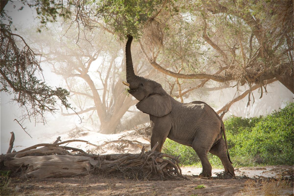 słoń w namibii