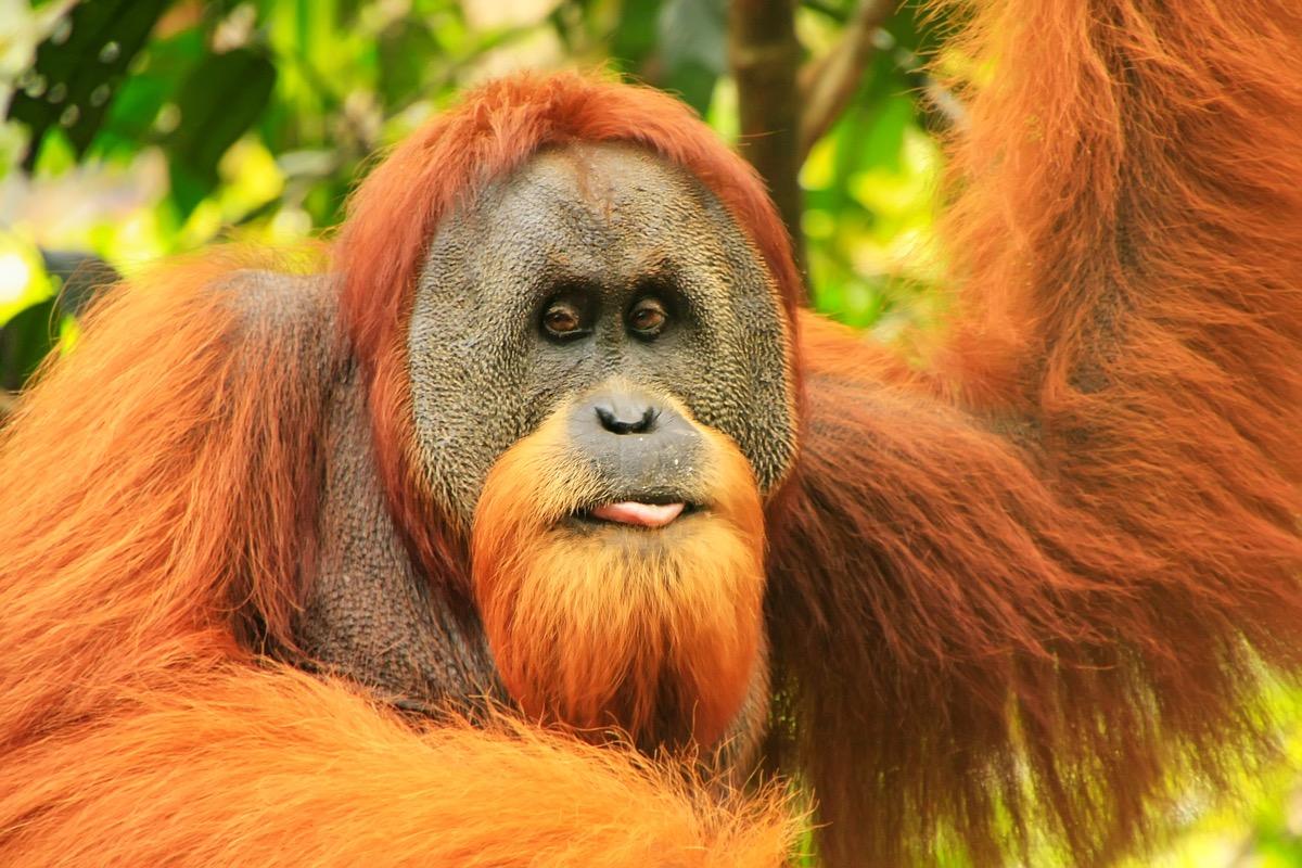 orangutan na sumatrze
