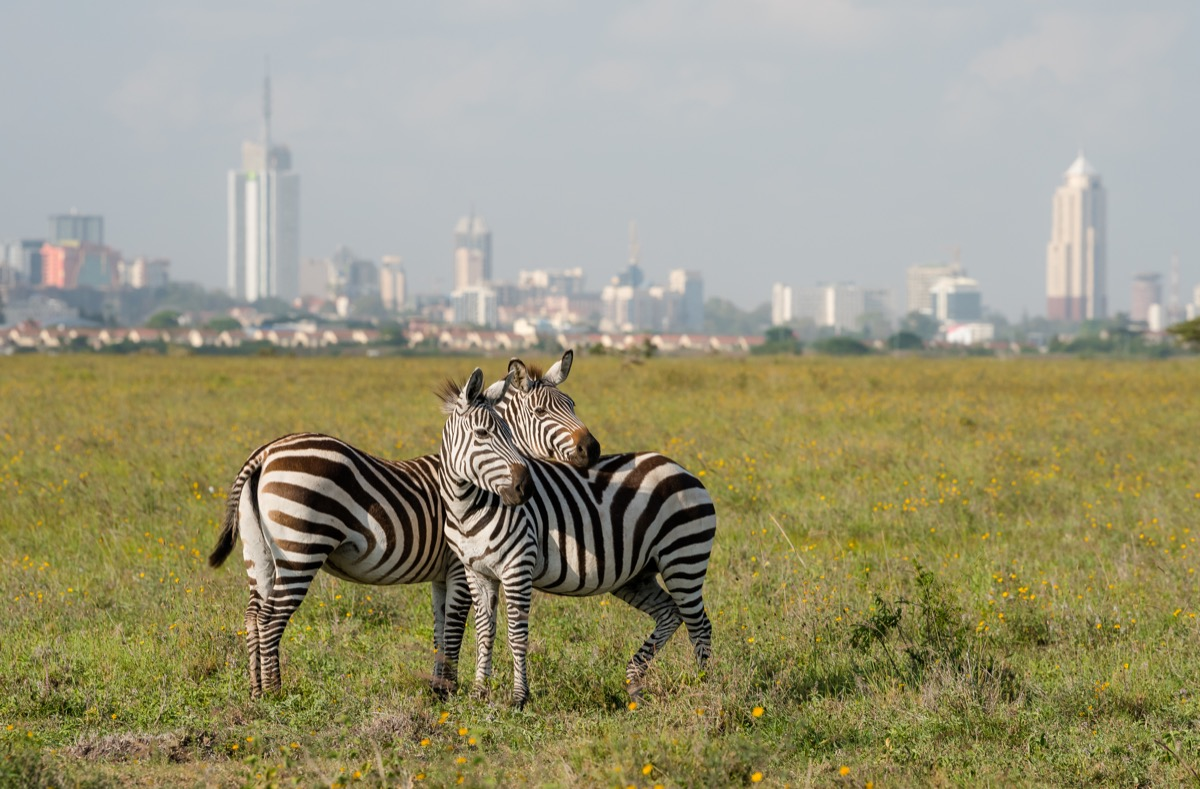 zebry na tle nairobi