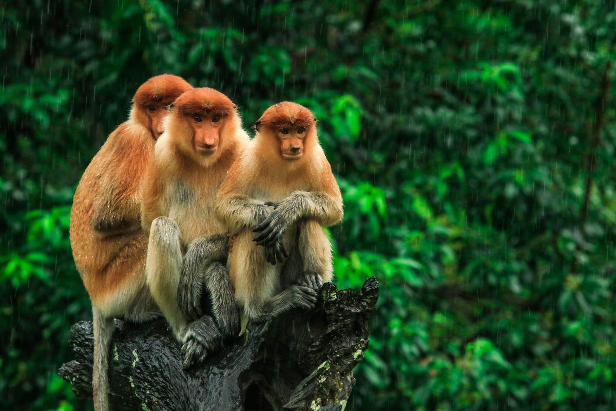 Bornego Kuching Malezja