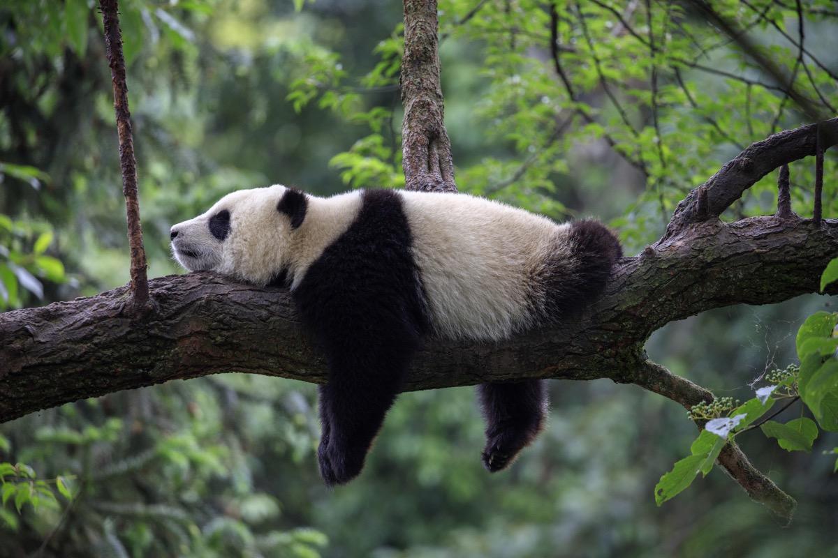 pandy w chinach