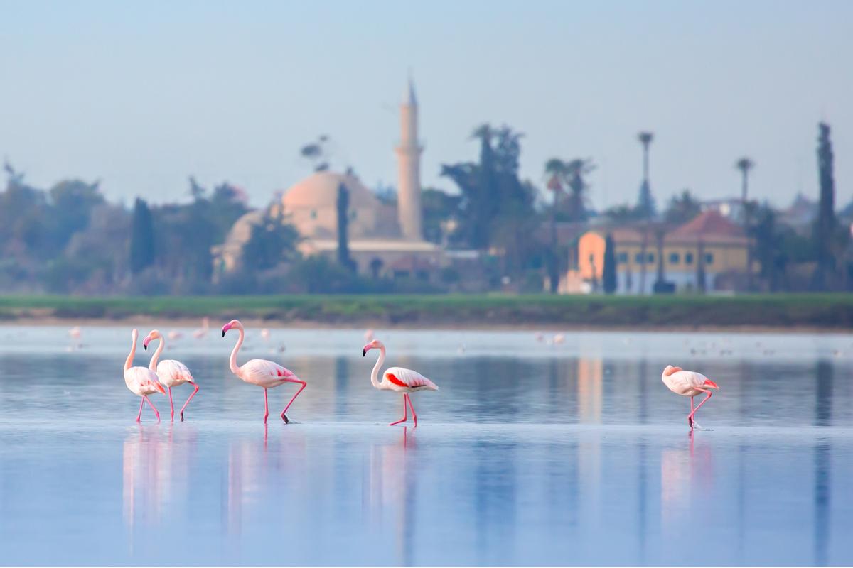 Larnaka flamingi