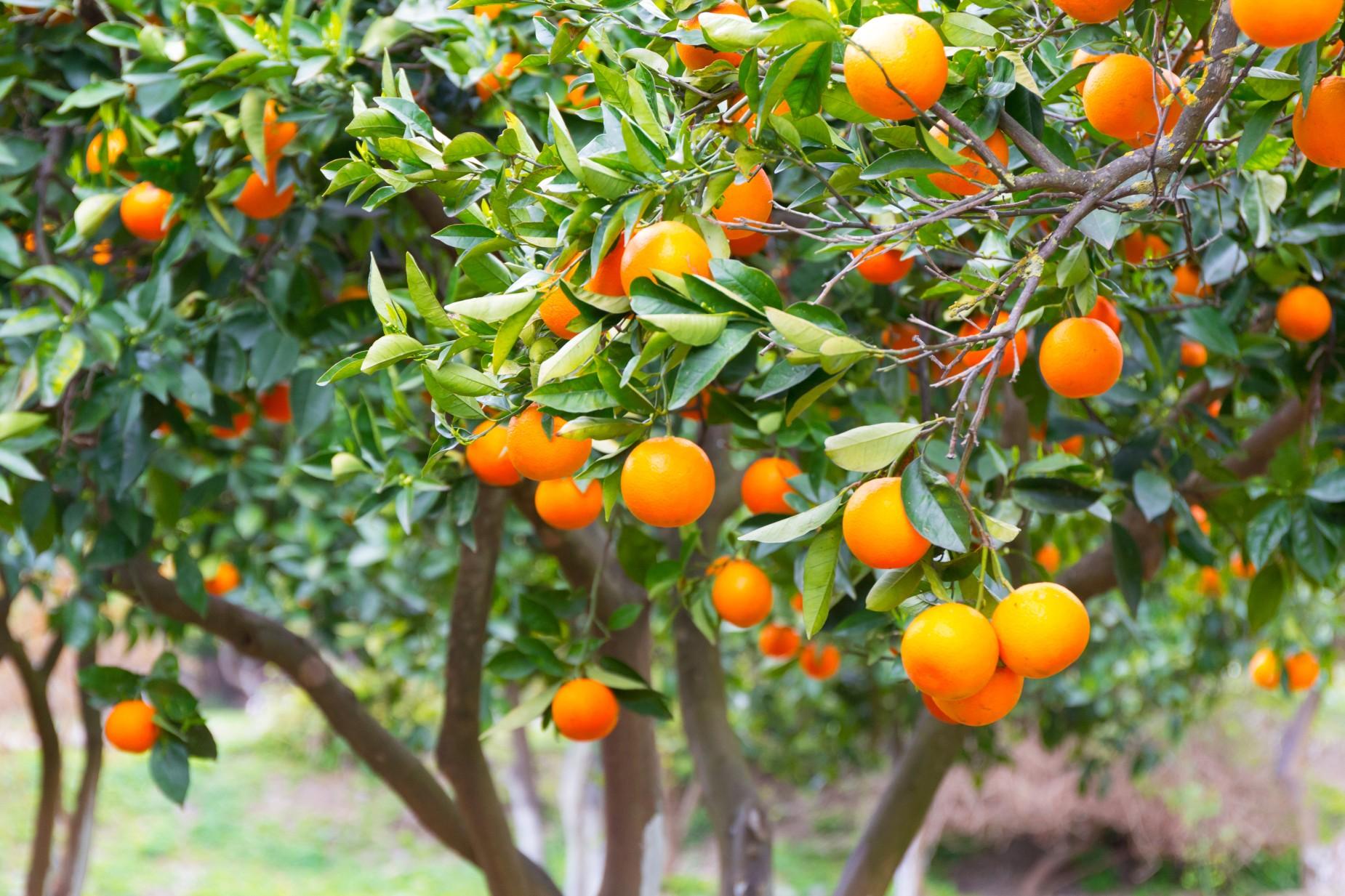 Greckie drzewa cytrusowe