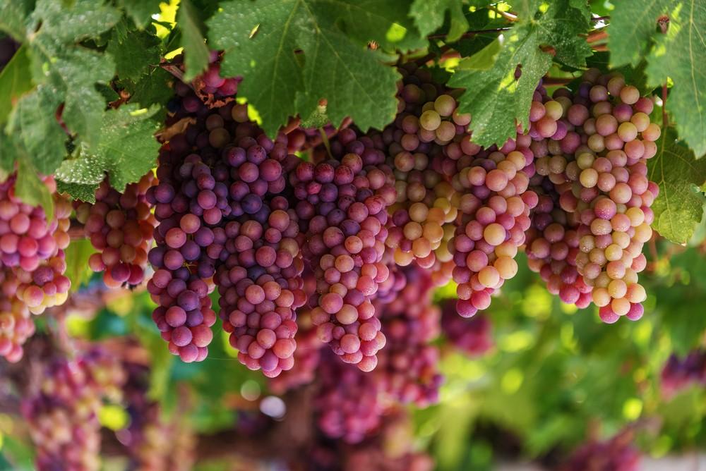 Grecja i winogrona