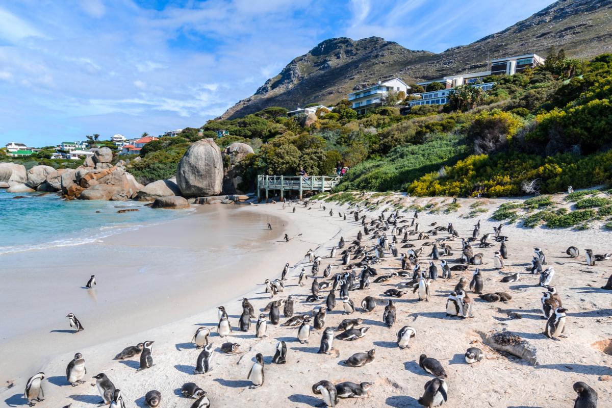 Pingwiny kapsztad