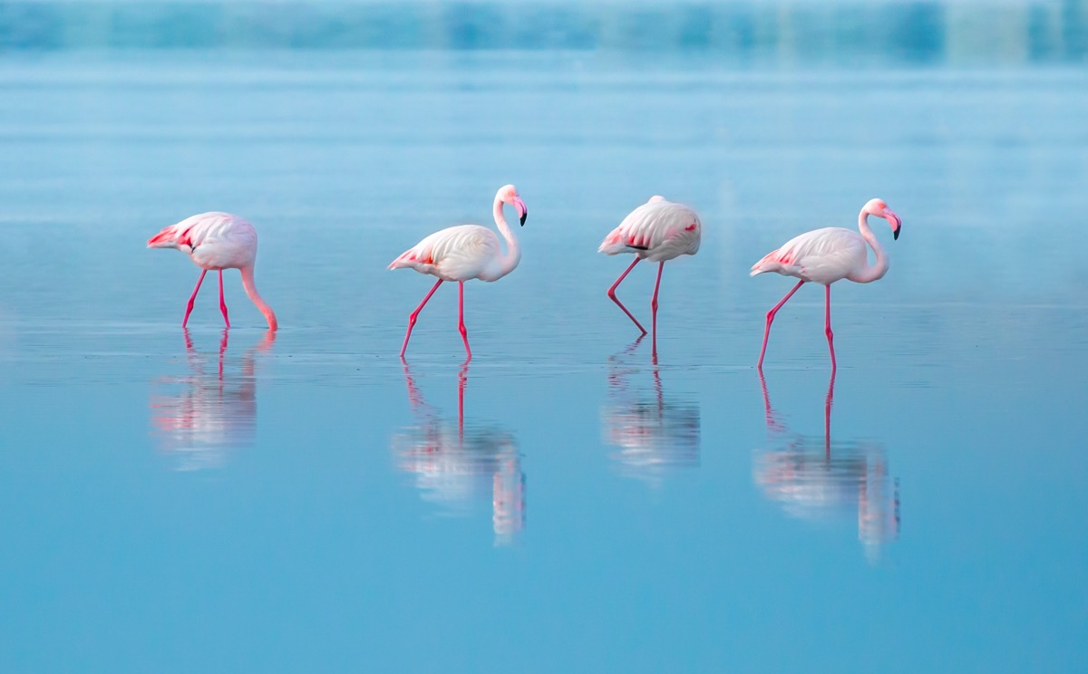 flamingi na cyprze