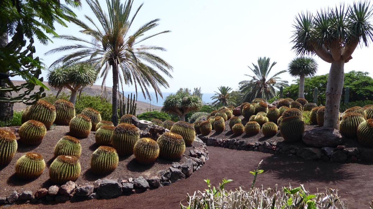 fuerteventura kaktusy