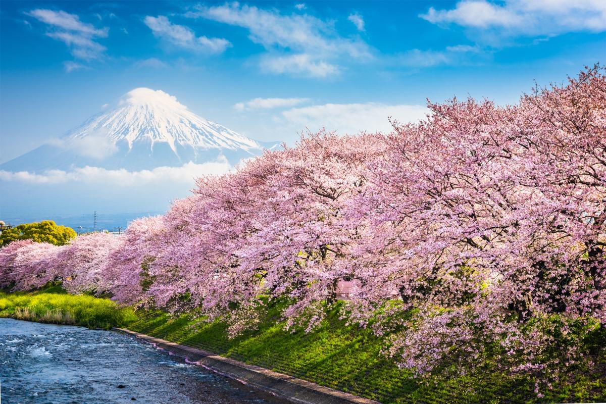 japonia hanami