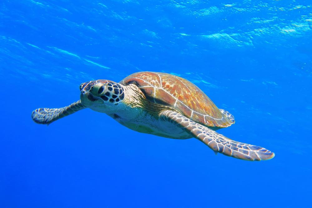 żółw Caretta caretta