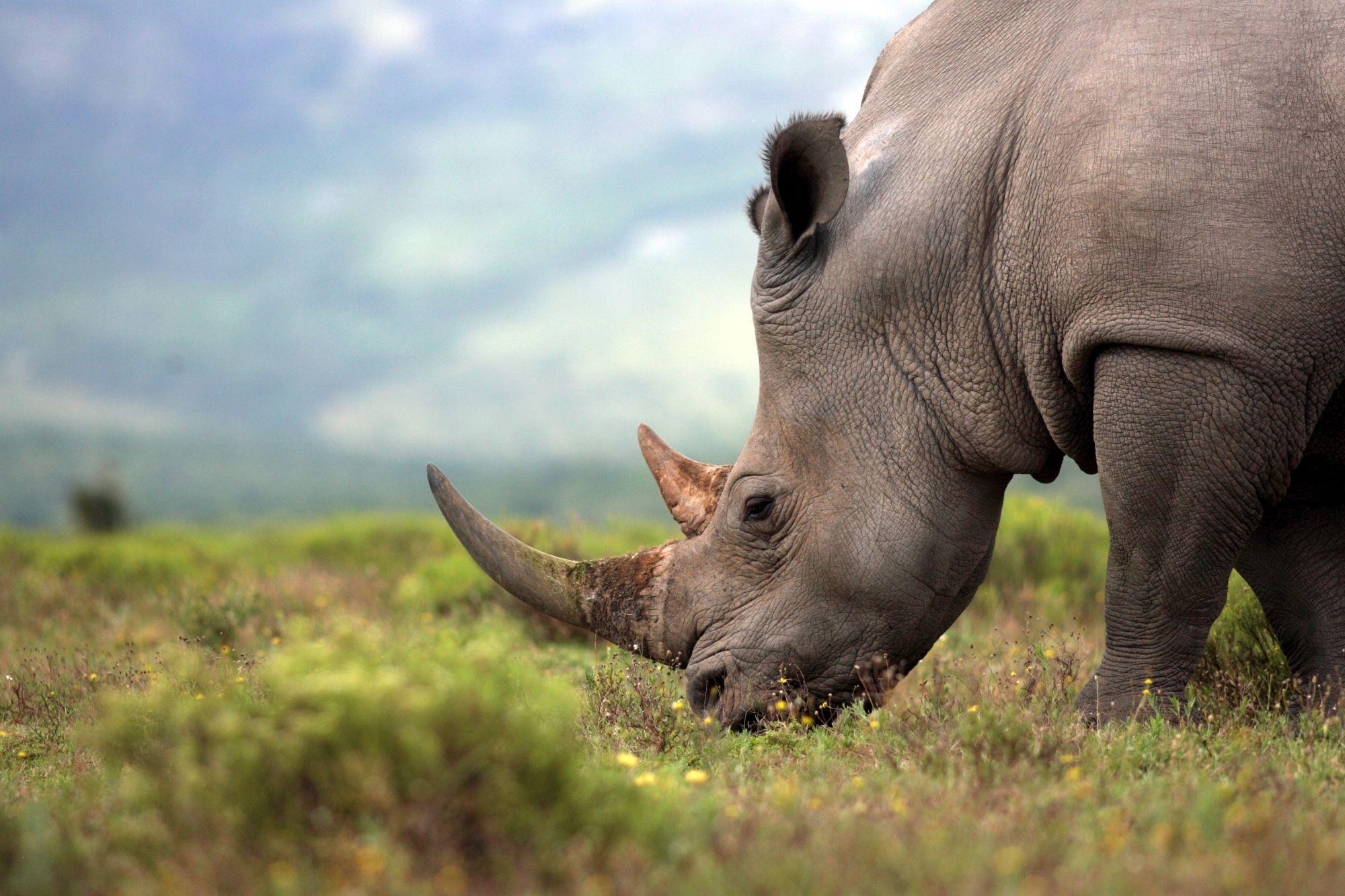 Nosorożec w parku