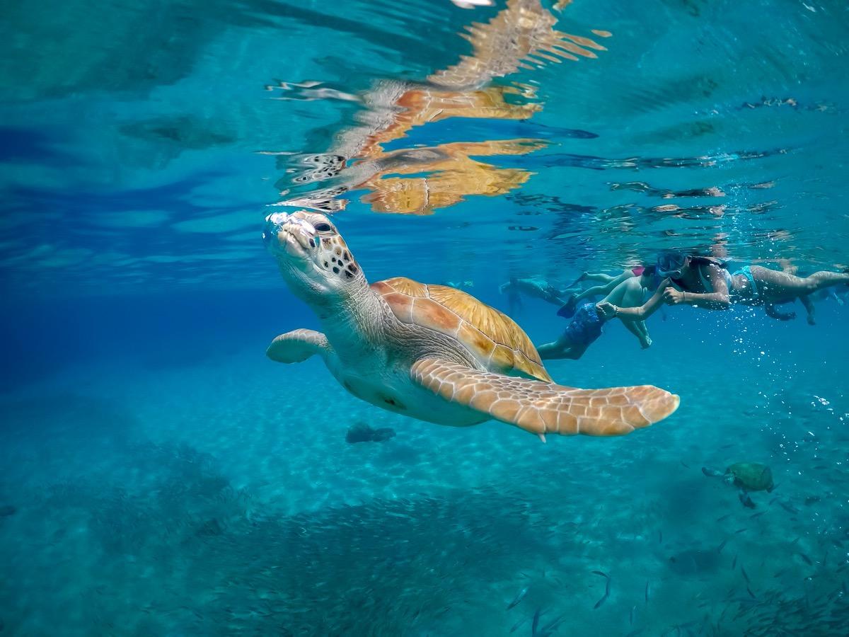 curacao żółw