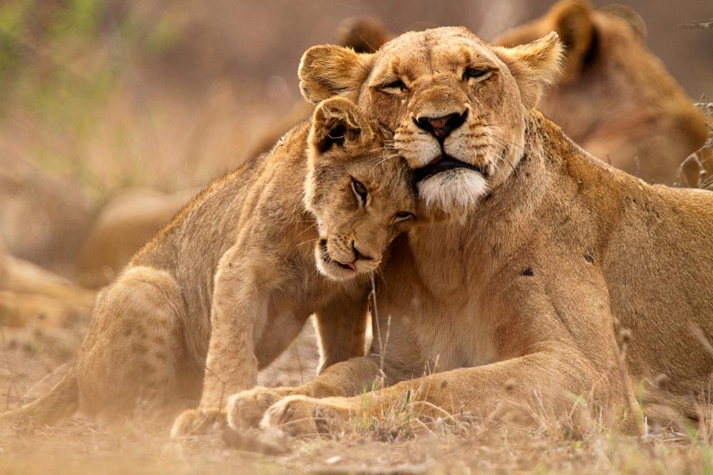 Lwy na sawannie