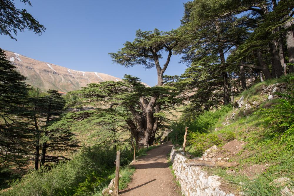 las cedrowy