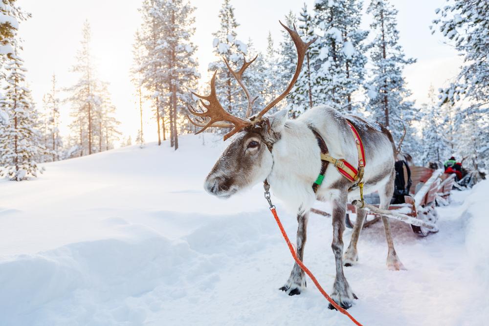 Renifer w Laponii