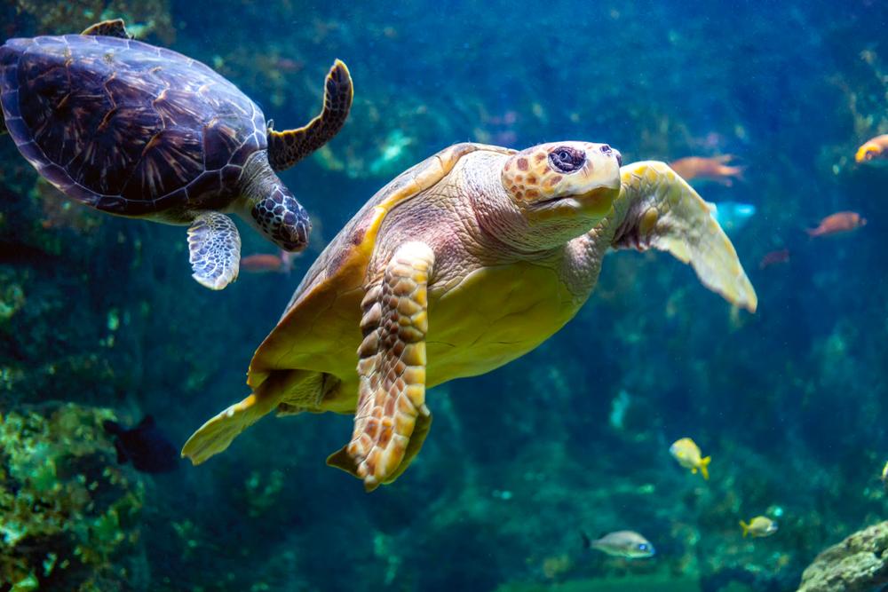 Pływający żółw