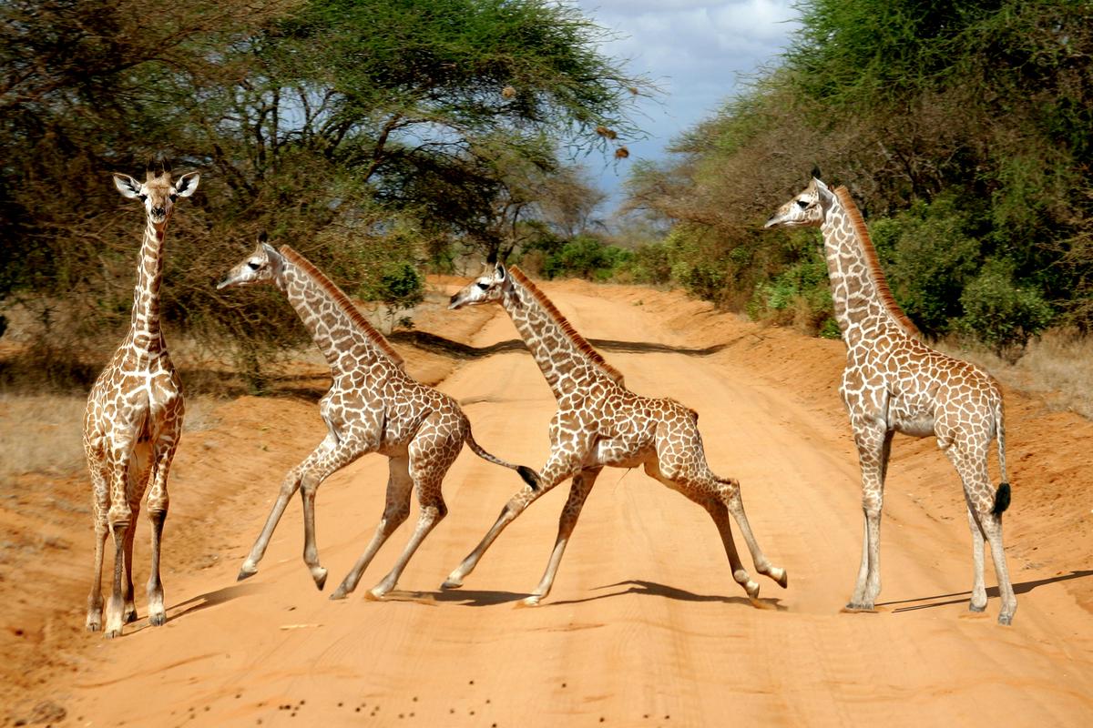 żyrafy w Afryce