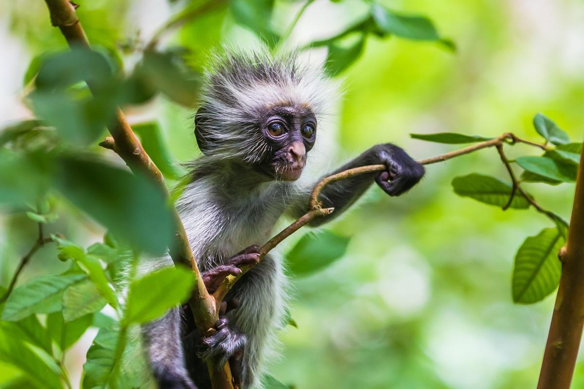 zanzibar małpa