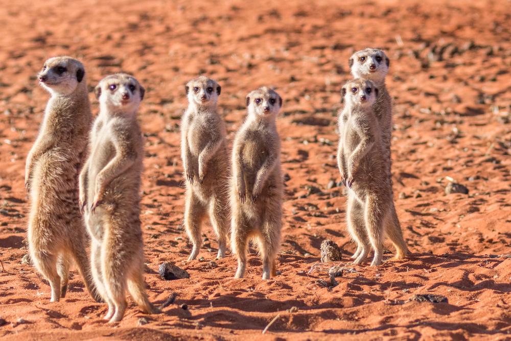 Surykatki w Namibii