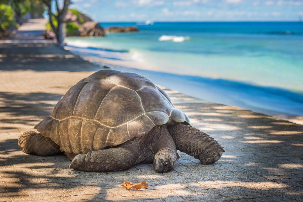 Duży żółw