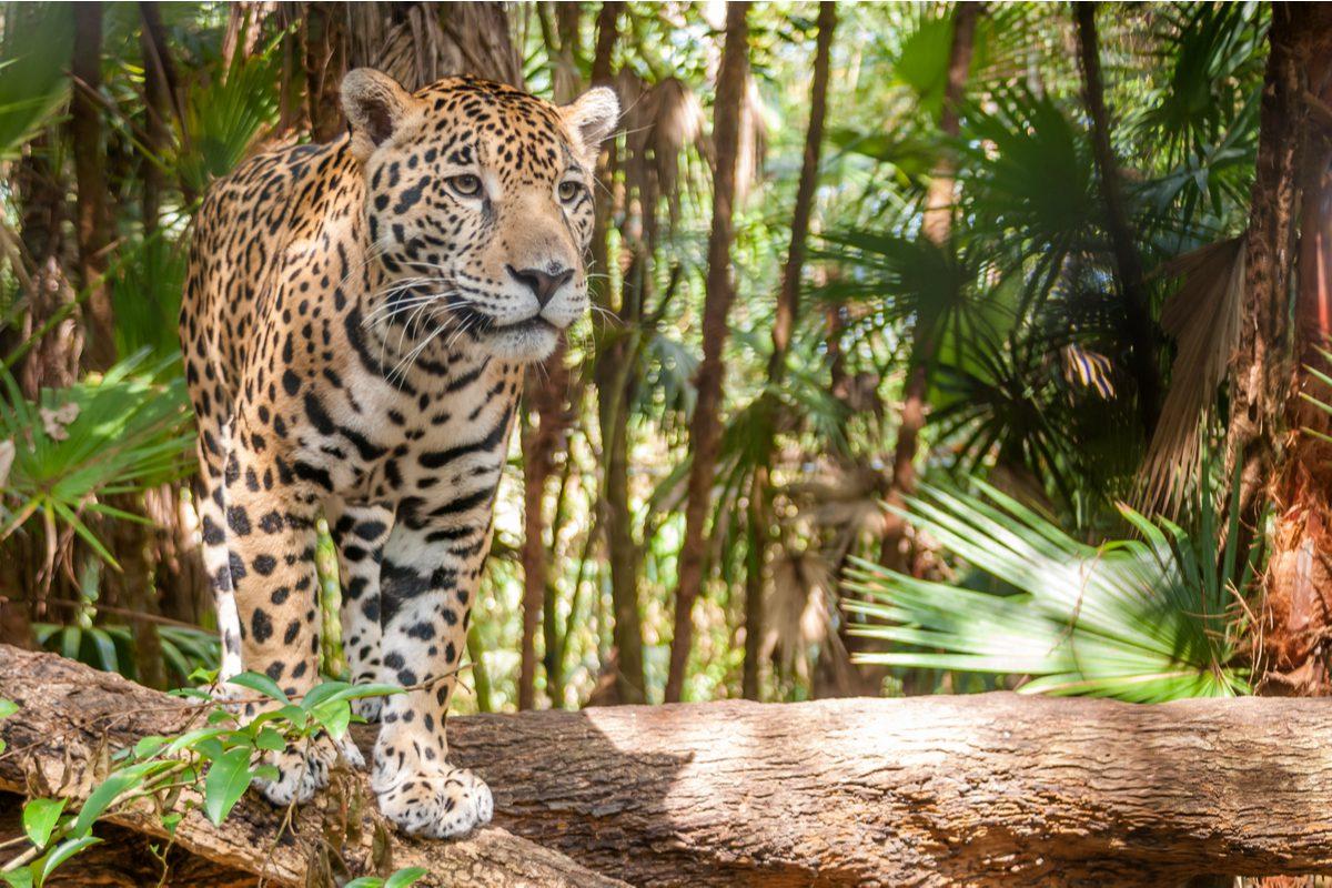 tygrys w panamie