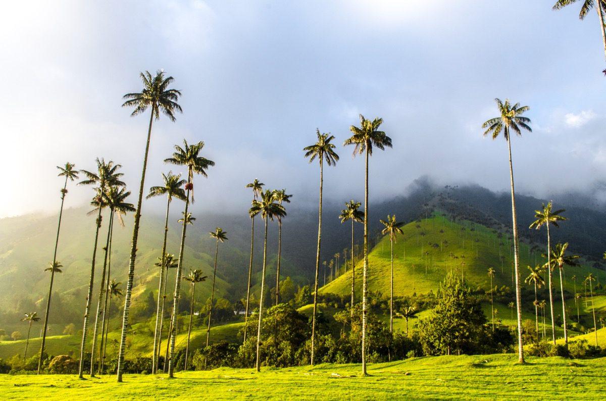 palmy w kolumbii